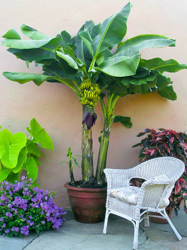 How To Grow Banana In Pots Mini