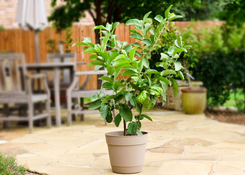 Guava Tree In Pot