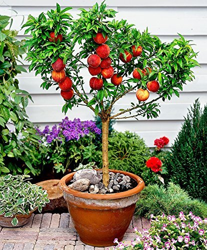 Grow Nectarine In Pot