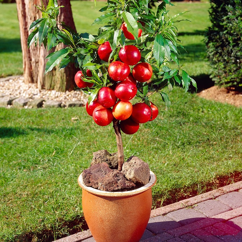 Grow Apple tree In Pot