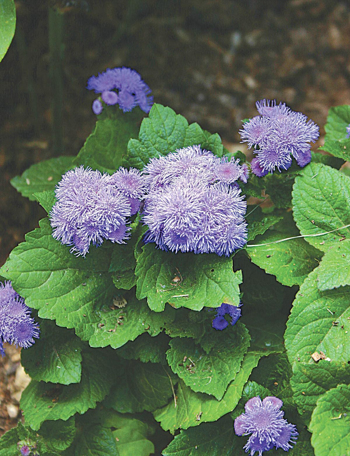 Flowers Ageratum