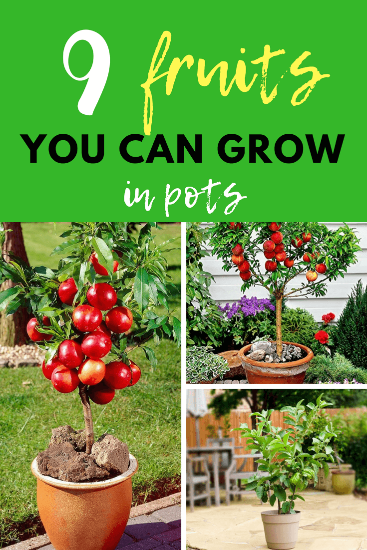 there are many fruits that can be grown in pots. Just pick dwarf varieties of fruit-bearing plants and provide the necessary amount of sunlight, water, and fertilizer. Keep the soil well-draining and adjust the pH accordingly.