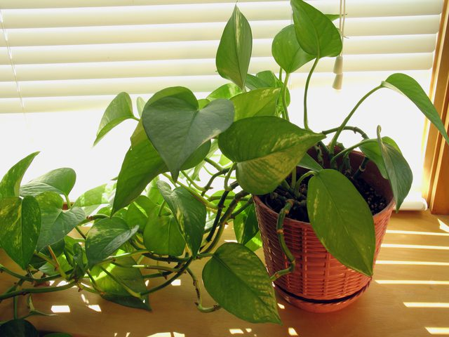 Grow Golden Pothos Plant