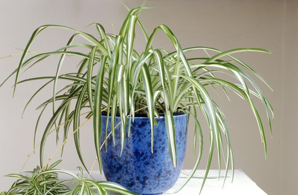 Grow Spider Plants