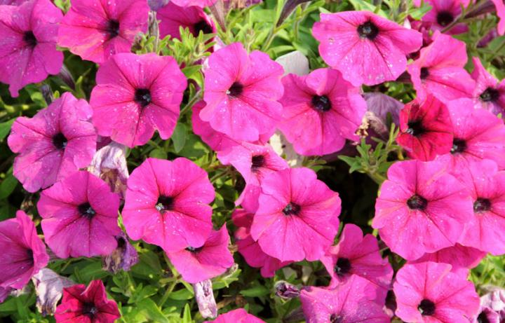 How To Plant Petunias Flower