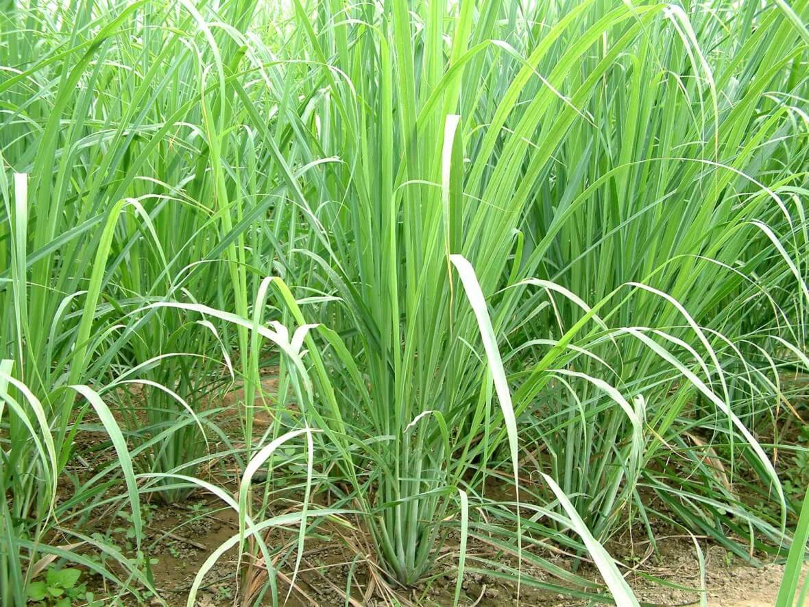 Citronella   Plants That Repel Roaches - DIYMorning