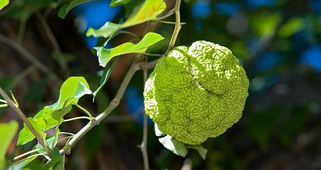 Osage Orange Spider Repellant | Plants That Repel Roaches - DIYMorning
