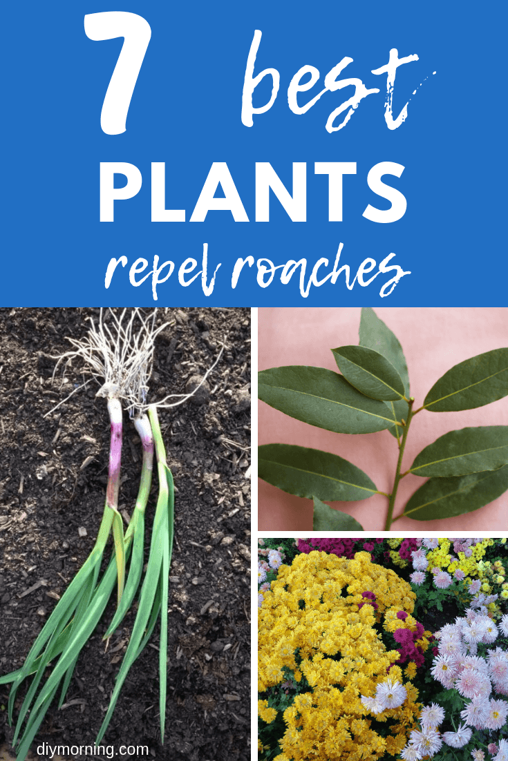Best Plants Repel Roaches