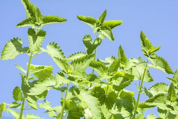 Catnip Plants | Plants That Repel Roaches - DIYMorning