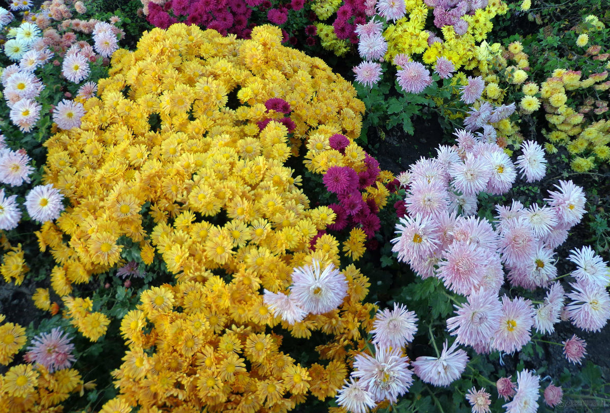 Chrysanthemums Divers | Plants That Repel Roaches - DIYMorning