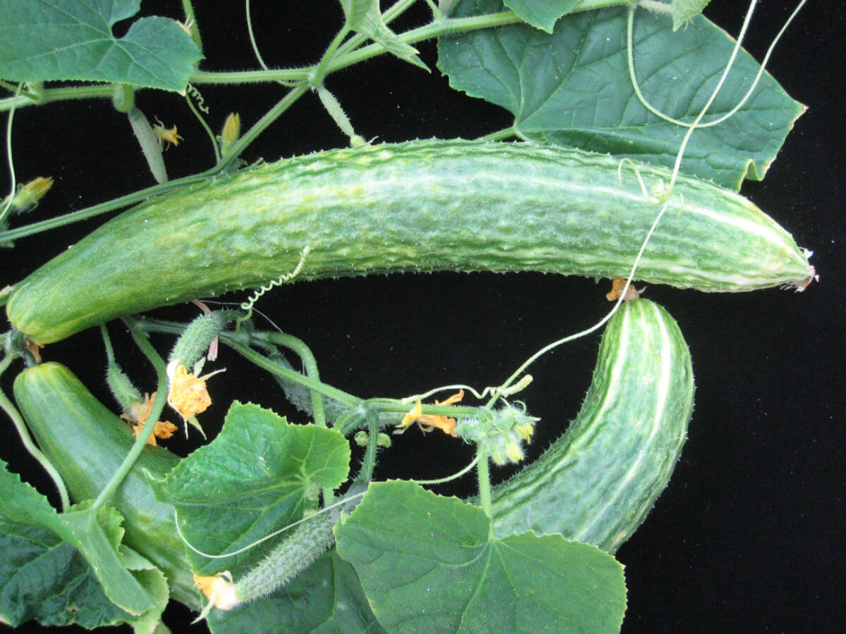 Cucumber Plants | Plants That Repel Roaches - DIYMorning