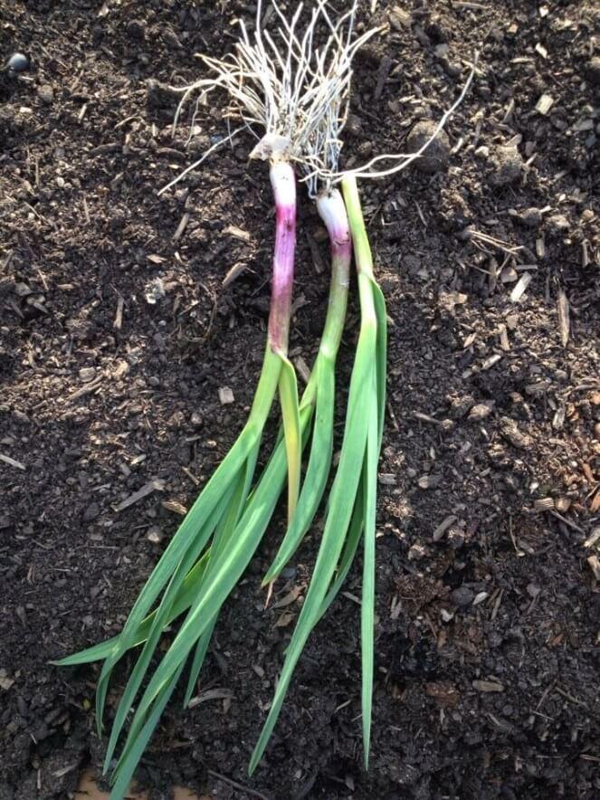 Garlic Plant   Plants That Repel Roaches - DIYMorning