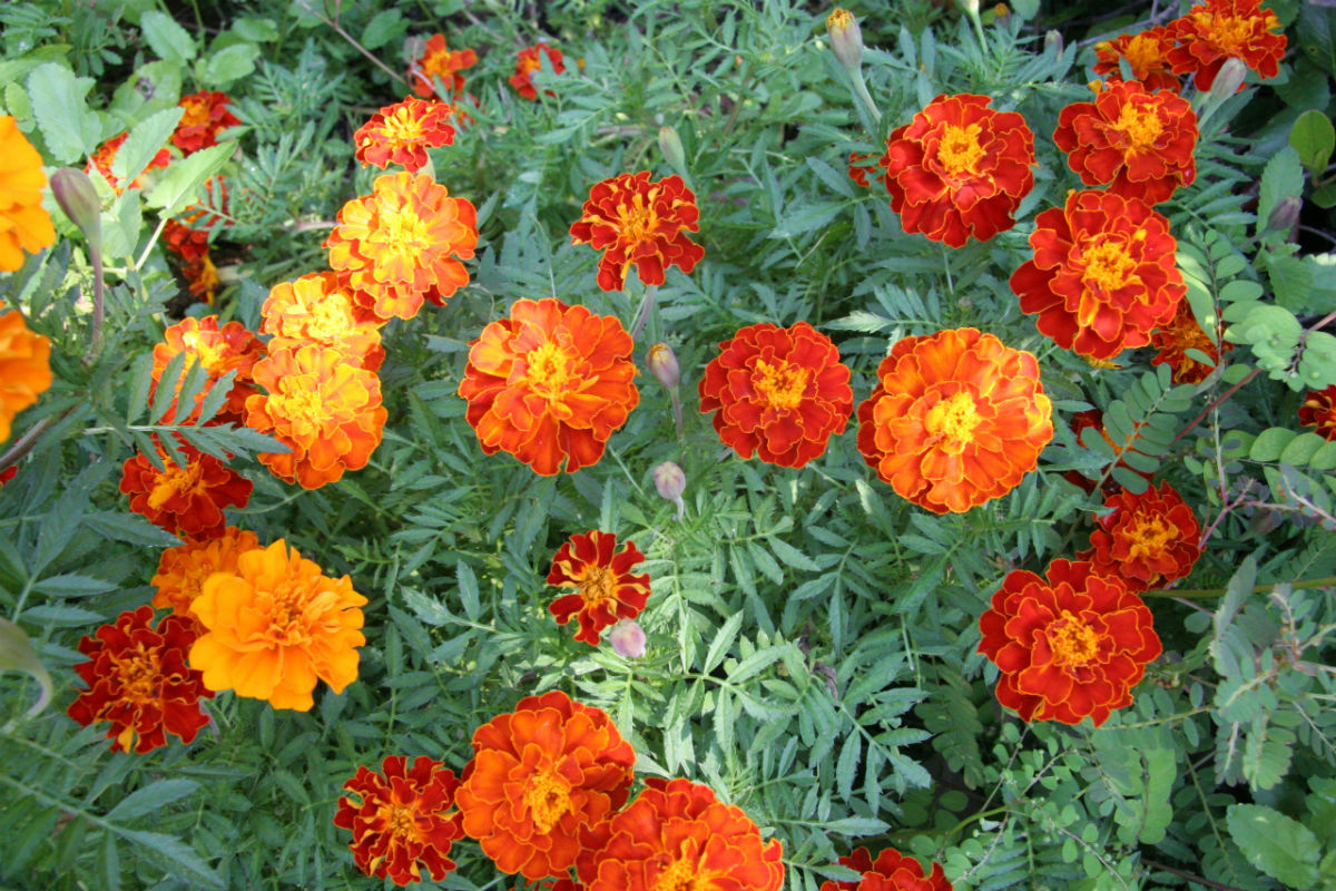 Marigolds Flowers | Plants That Repel Snakes - DIYMorning.com