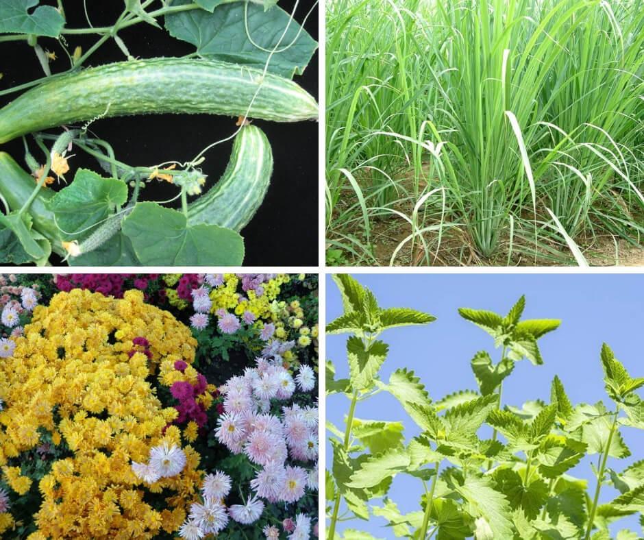 Top 7 Plants That Repel Roaches