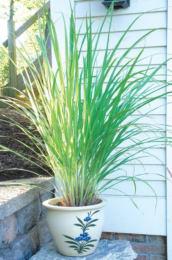 West Indian Lemon Grass | Plants That Repel Snakes - DIYMorning.com