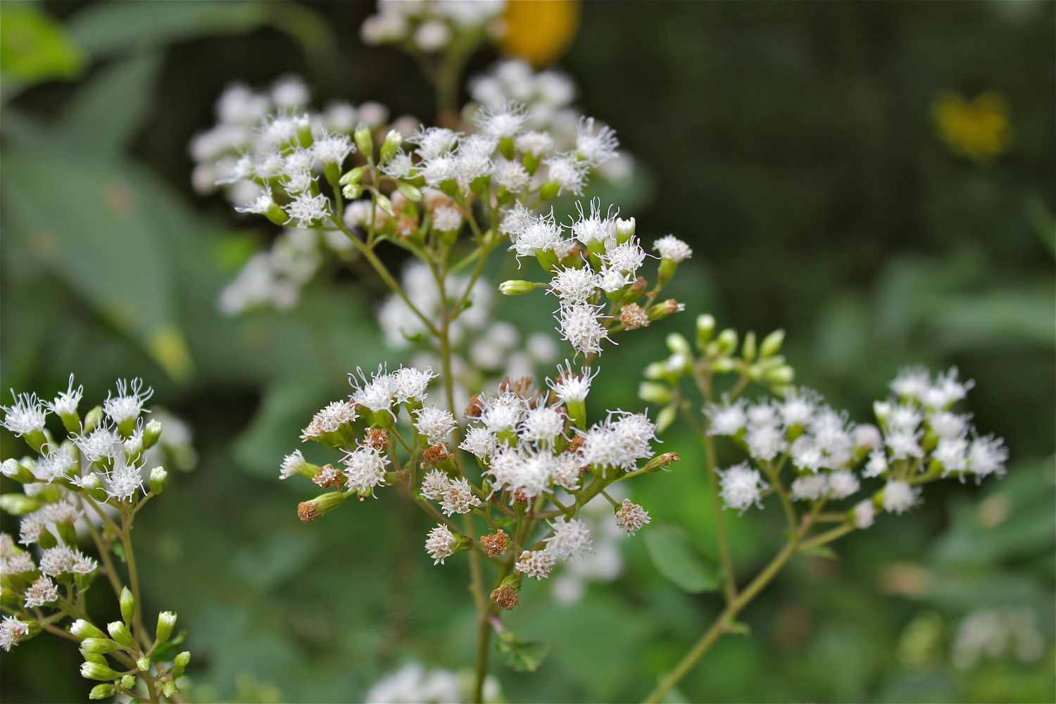 White Snakeroot | Plants That Repel Snakes - DIYMorning.com