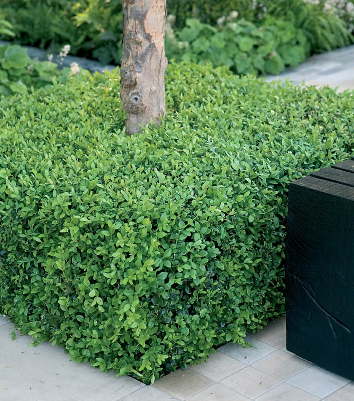 Topiary Box: How to make box hedge plants