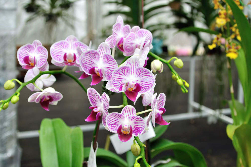 Climate Requirements for Cultivation of Common Orchids