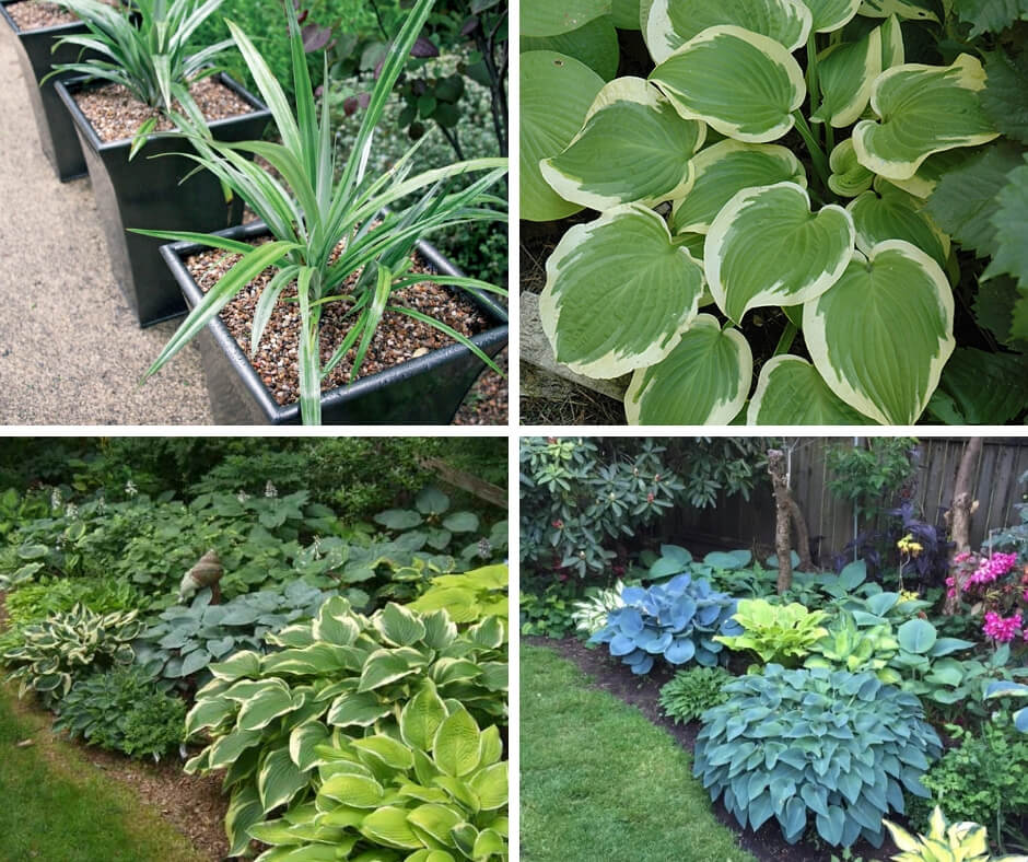 Plant Groups of Hostas to Brighten Up the Gloom