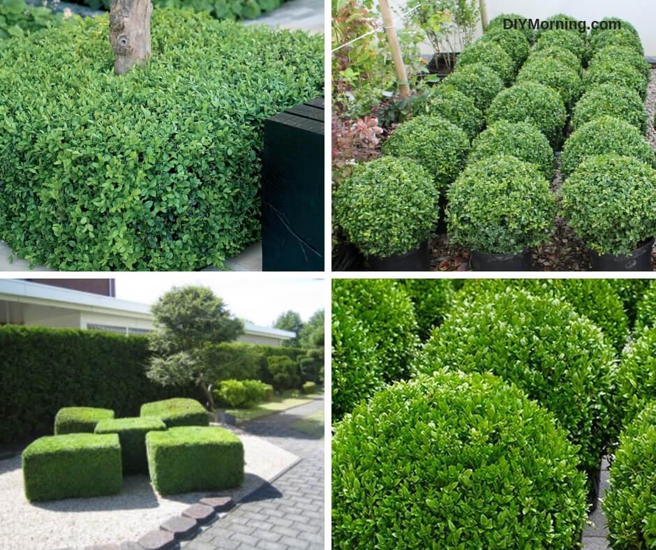How to Make Box Hedge Plants
