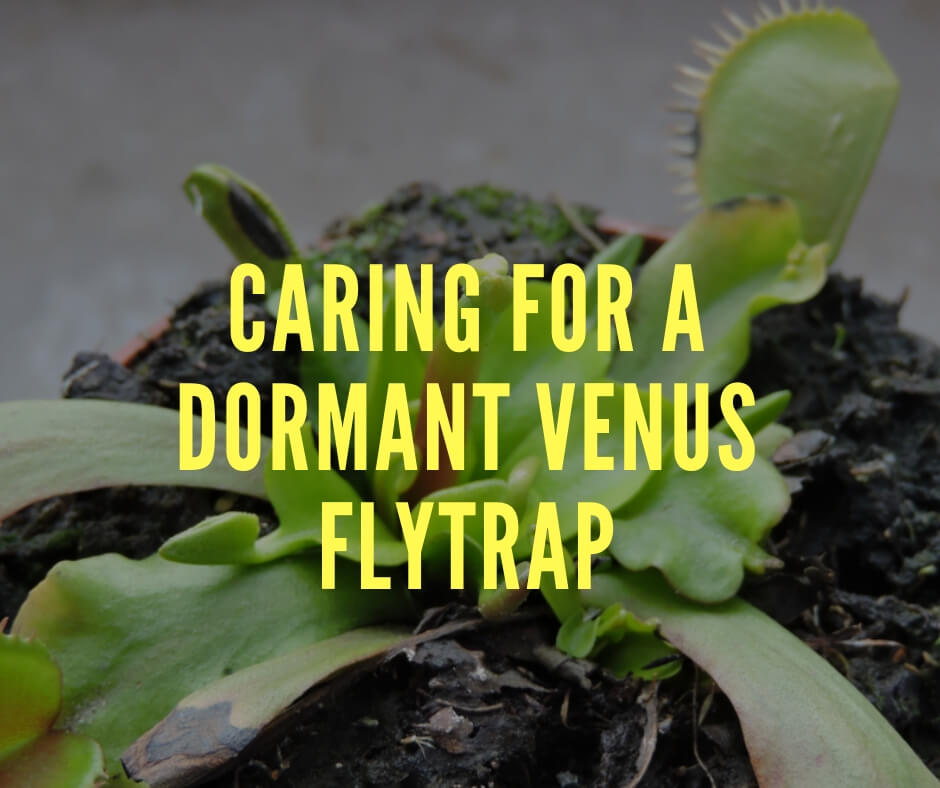 Caring For A Dormant Venus Flytrap Diy Morning