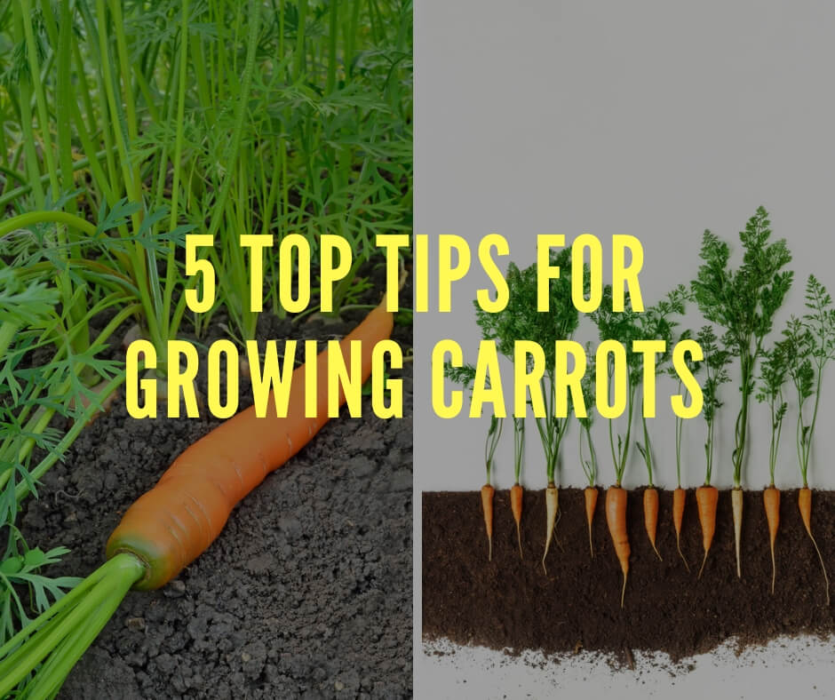 5 Top Tips for Growing Carrots