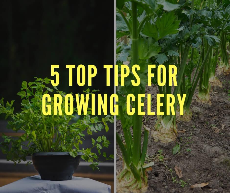 5 Top Tips for Growing Celery