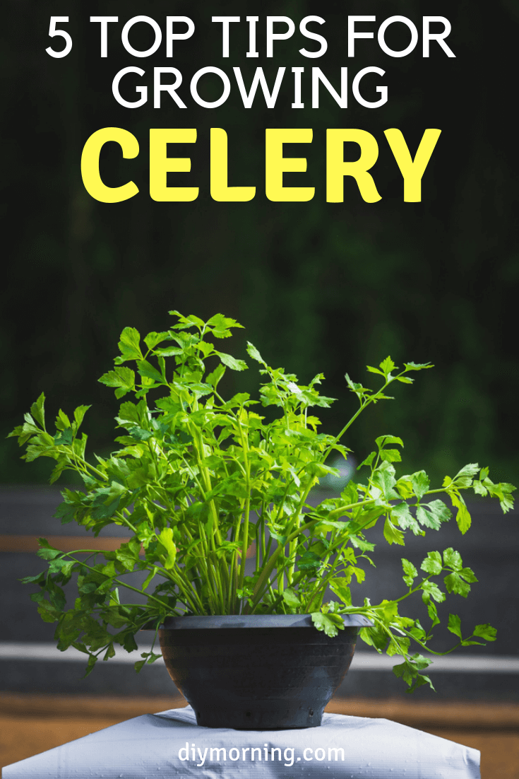 5 Top Tips for Growing Celery - DIY Morning