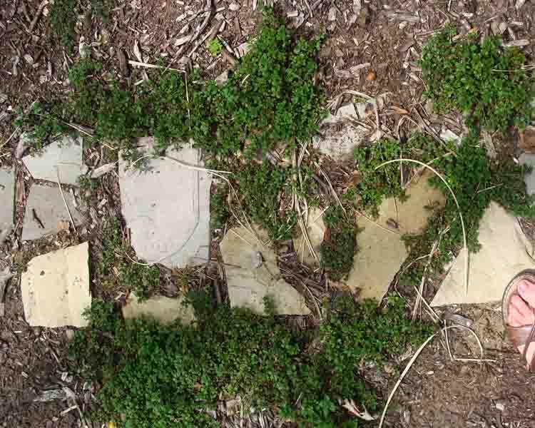 Creeping Thyme Plants Growing Between Stones in Garden Pathway