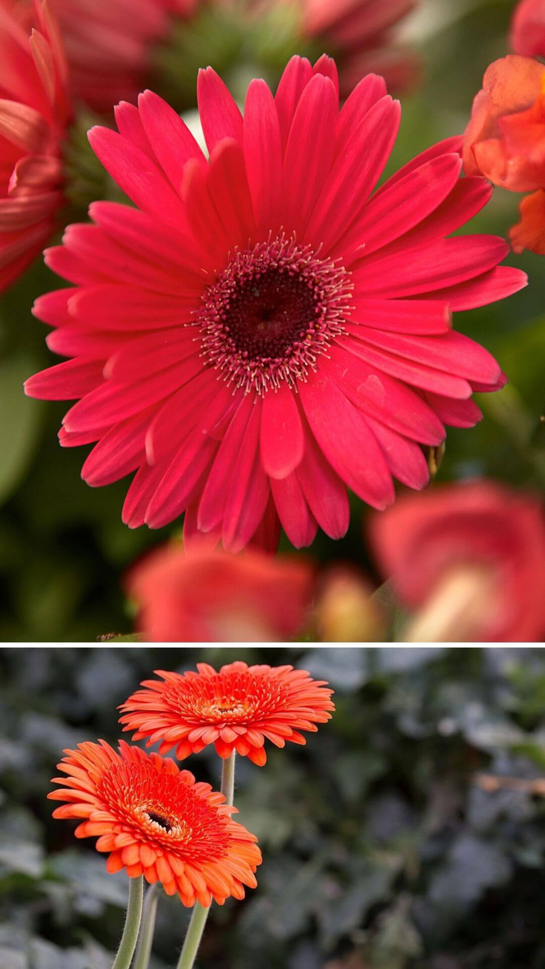 Gerbera (Transvaal daisy) - Heat and Drought Tolerant Plants for Landscaping