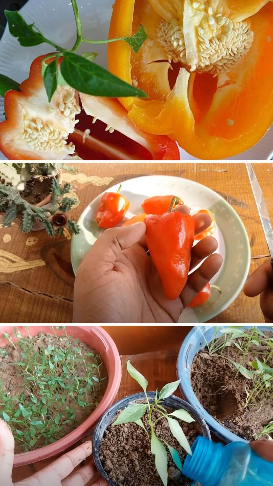 How to grow peppers from kitchen scraps
