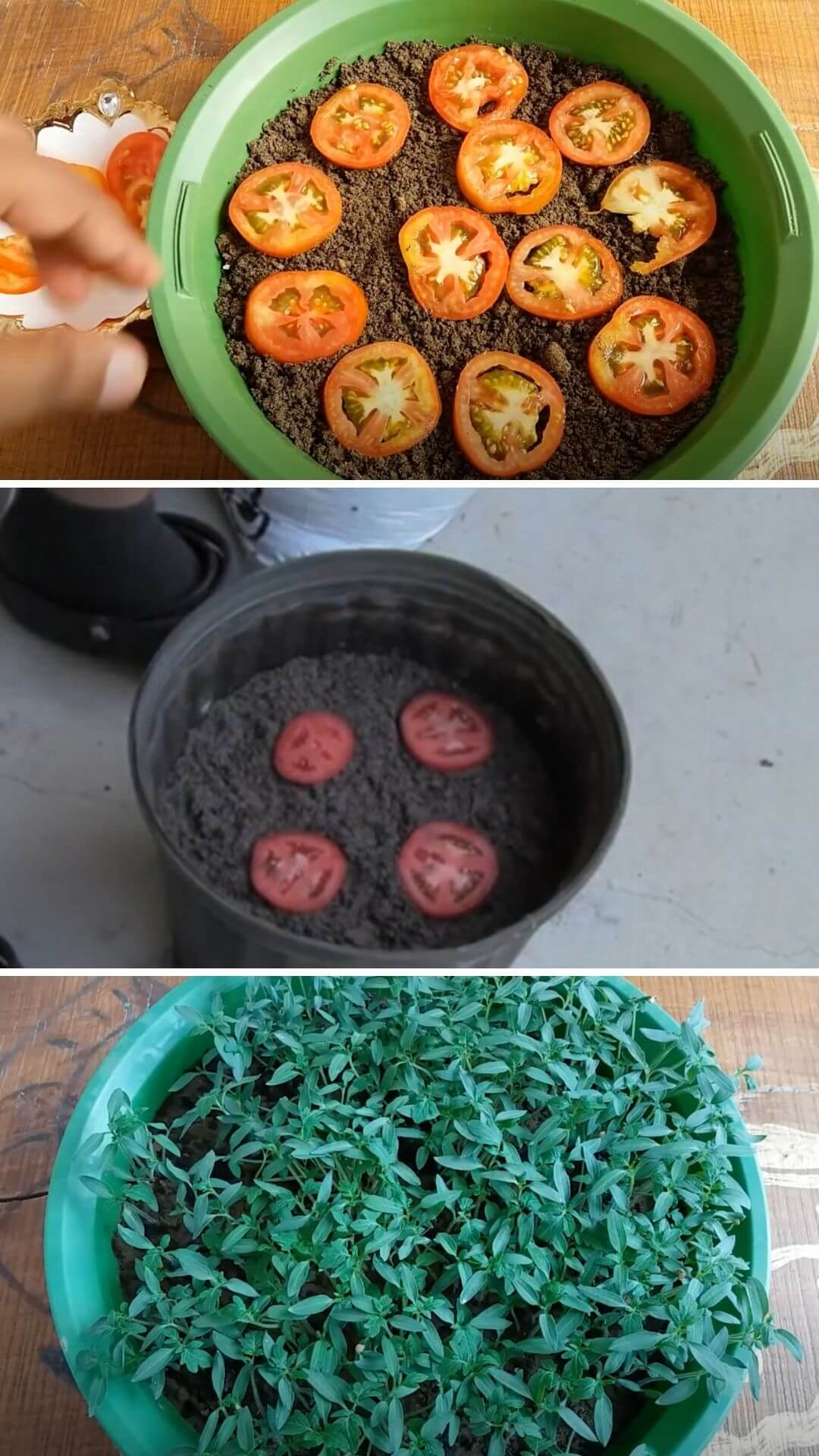 How to grow tomatoes from kitchen scraps