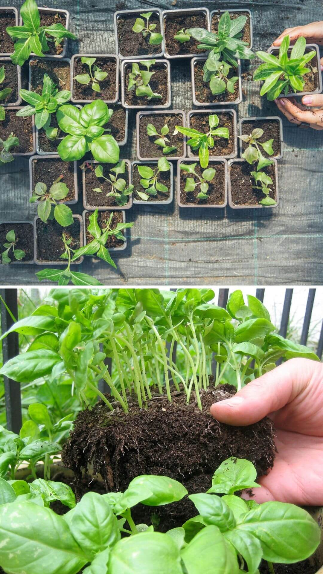 How to grow basil from kitchen scraps