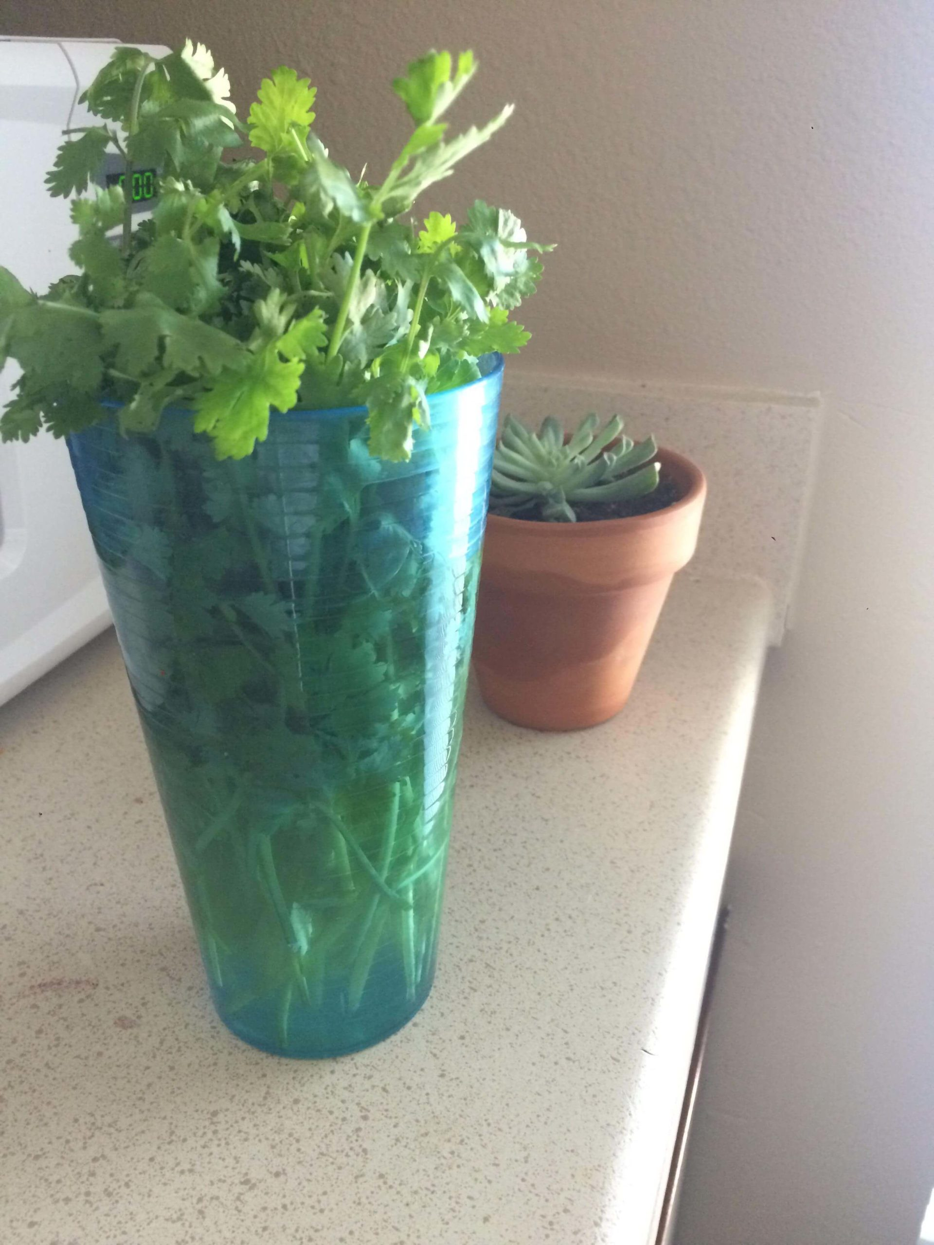How to grow cilantro from kitchen scraps
