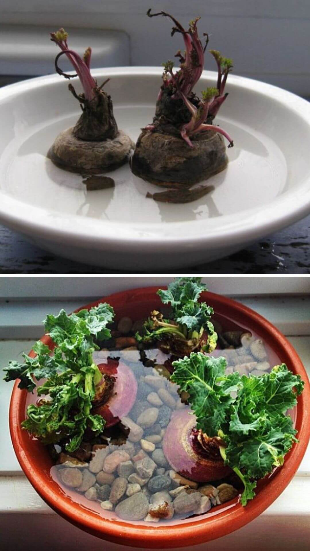 How to grow turnips from kitchen scraps