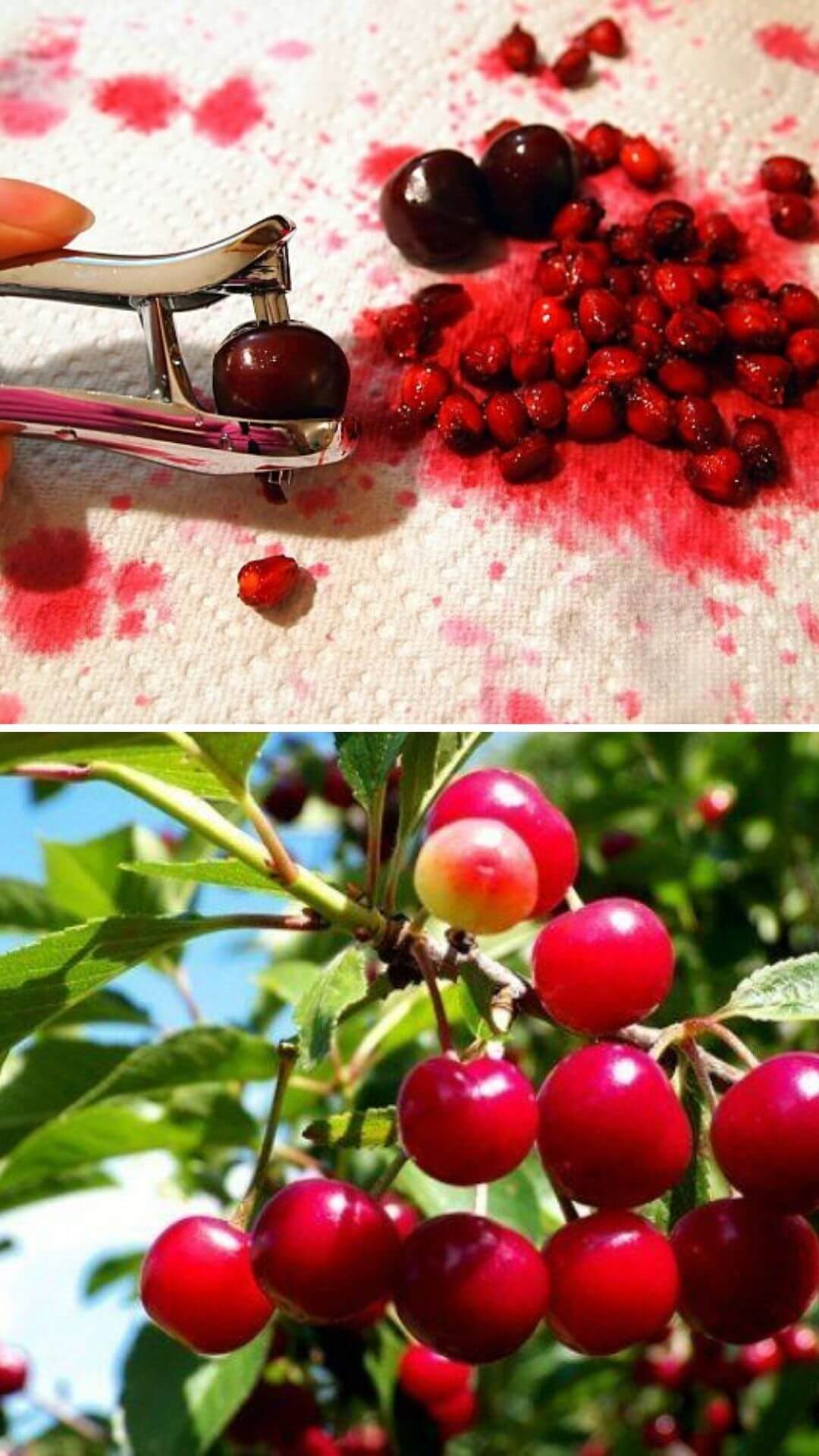 How to grow cherries from kitchen scraps
