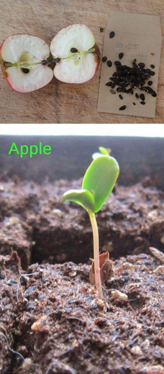 How to grow apples from kitchen scraps