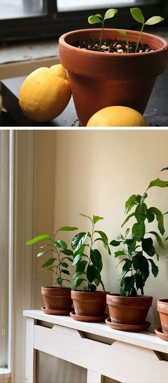 How to grow lemon from kitchen scraps