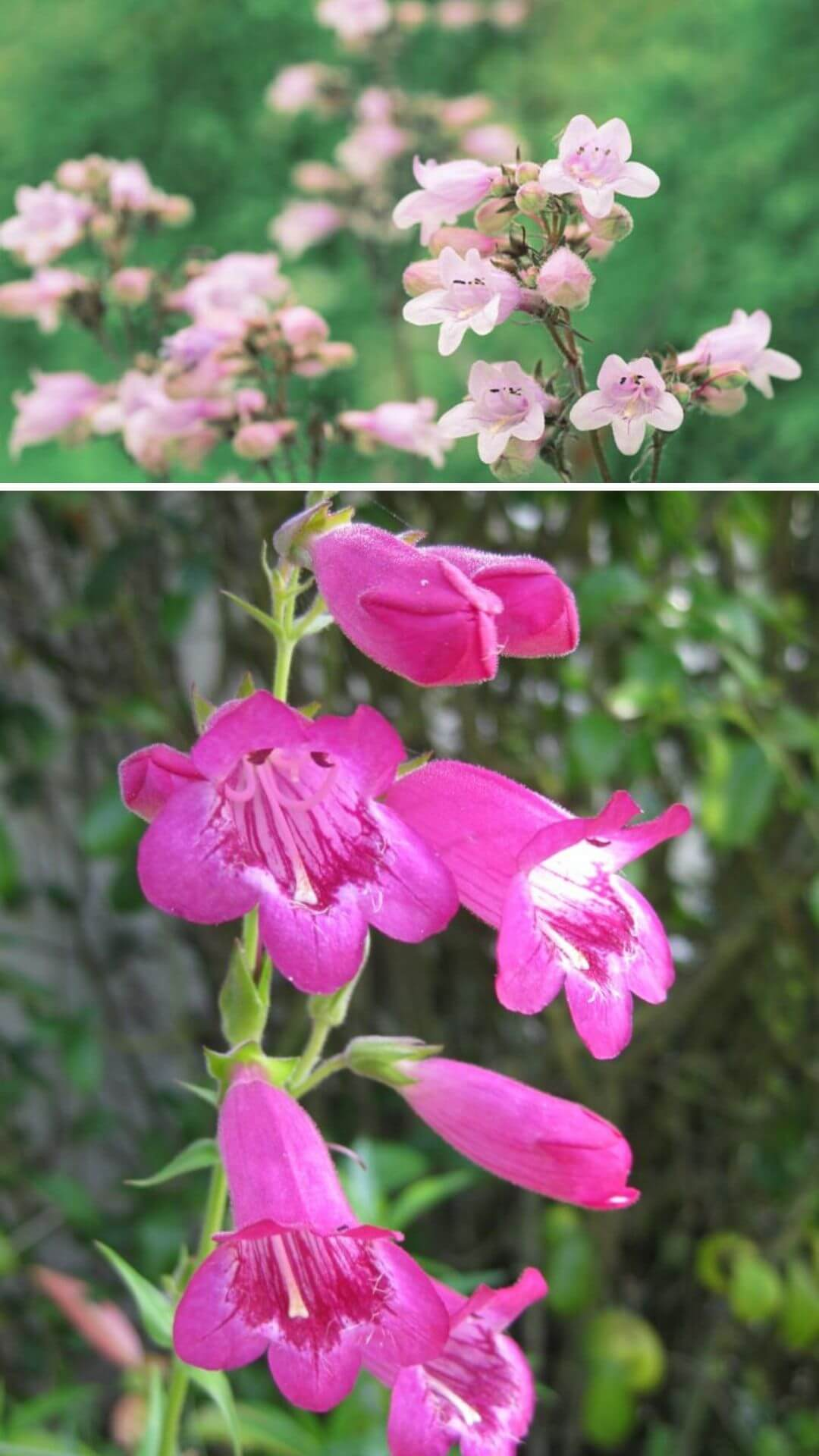 BeardTongues - Heat and Drought Tolerant Plants for Landscaping