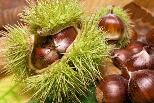 How to grow chestnuts from kitchen scraps