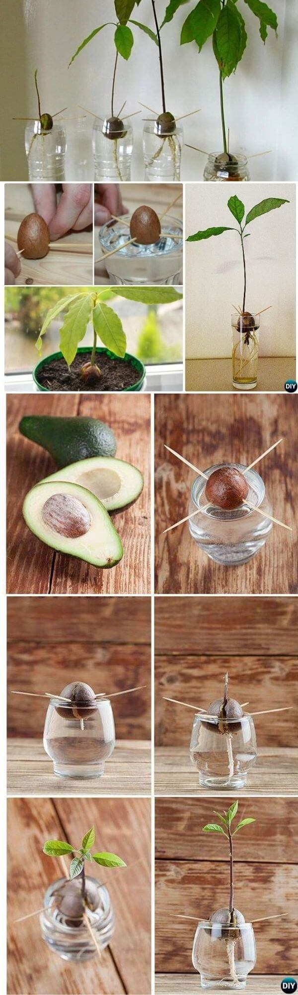 How to grow avocado from kitchen scraps
