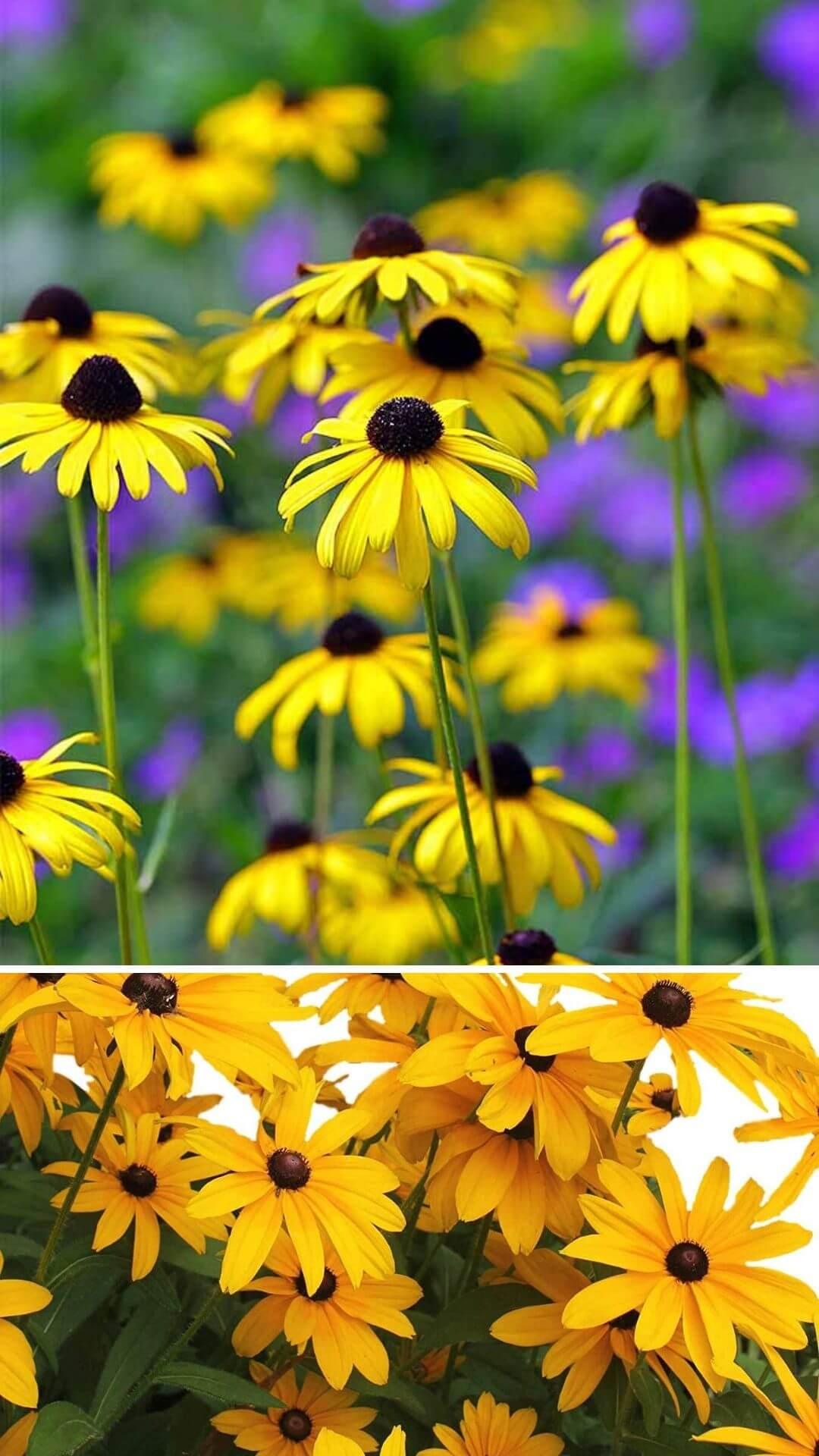 Black-eyed Susans (Rudbeckia hirta) - Heat and Drought Tolerant Plants for Landscaping