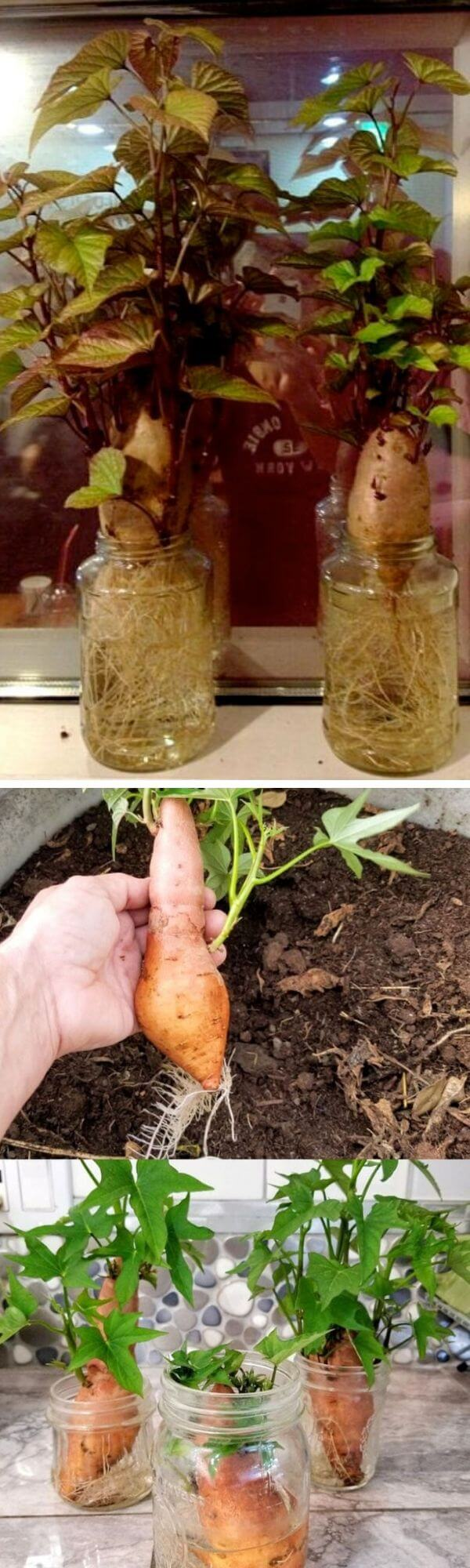 How to grow potatoes from kitchen scraps
