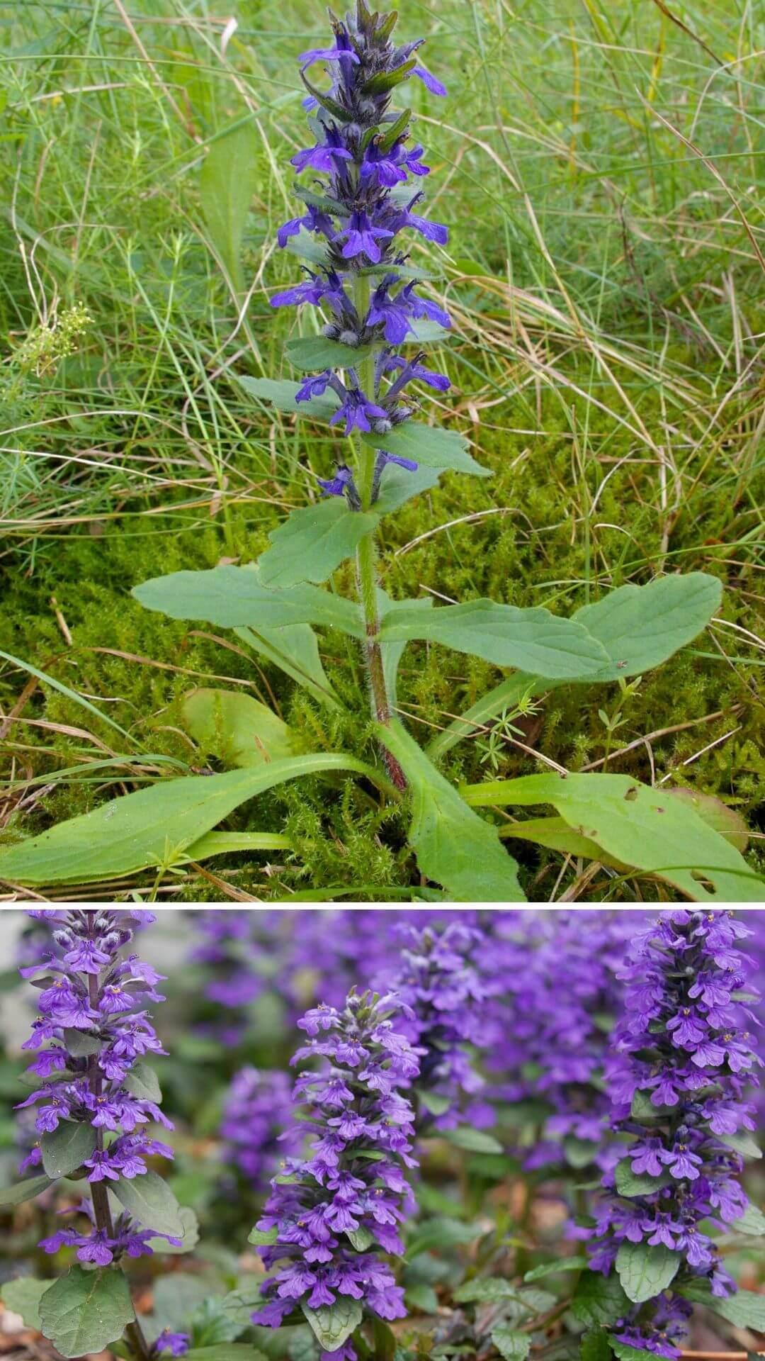 Ajuga (Bugleherb, bugleweed, carpetweed, carpet bugleweed) - Heat and Drought Tolerant Plants for Landscaping