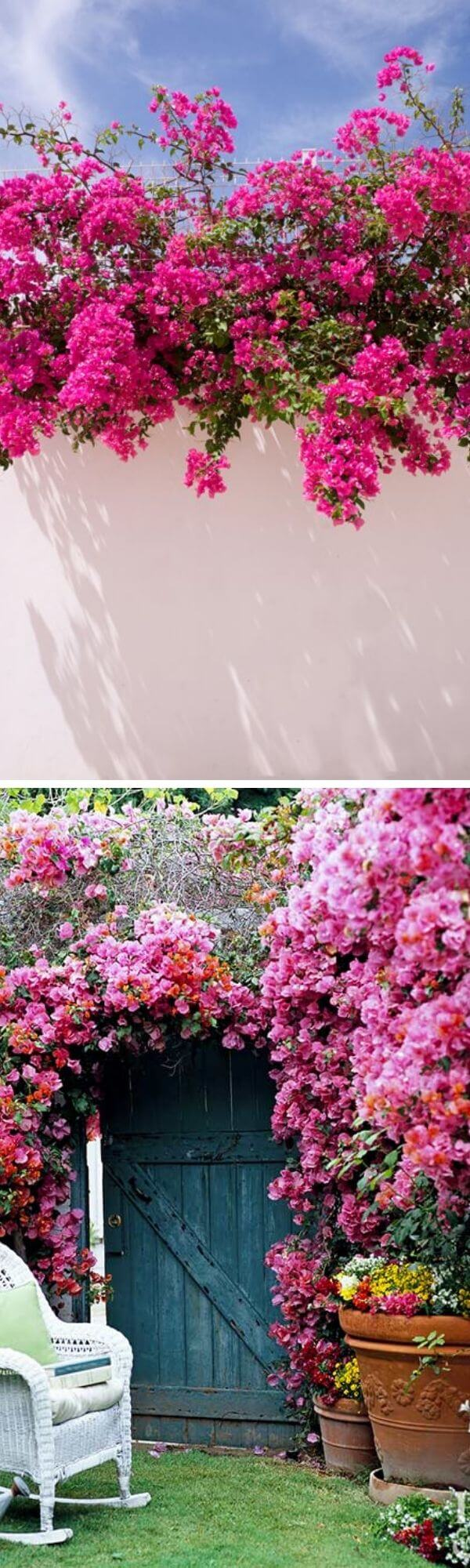 Bougainvillea - Heat and Drought Tolerant Plants for Landscaping