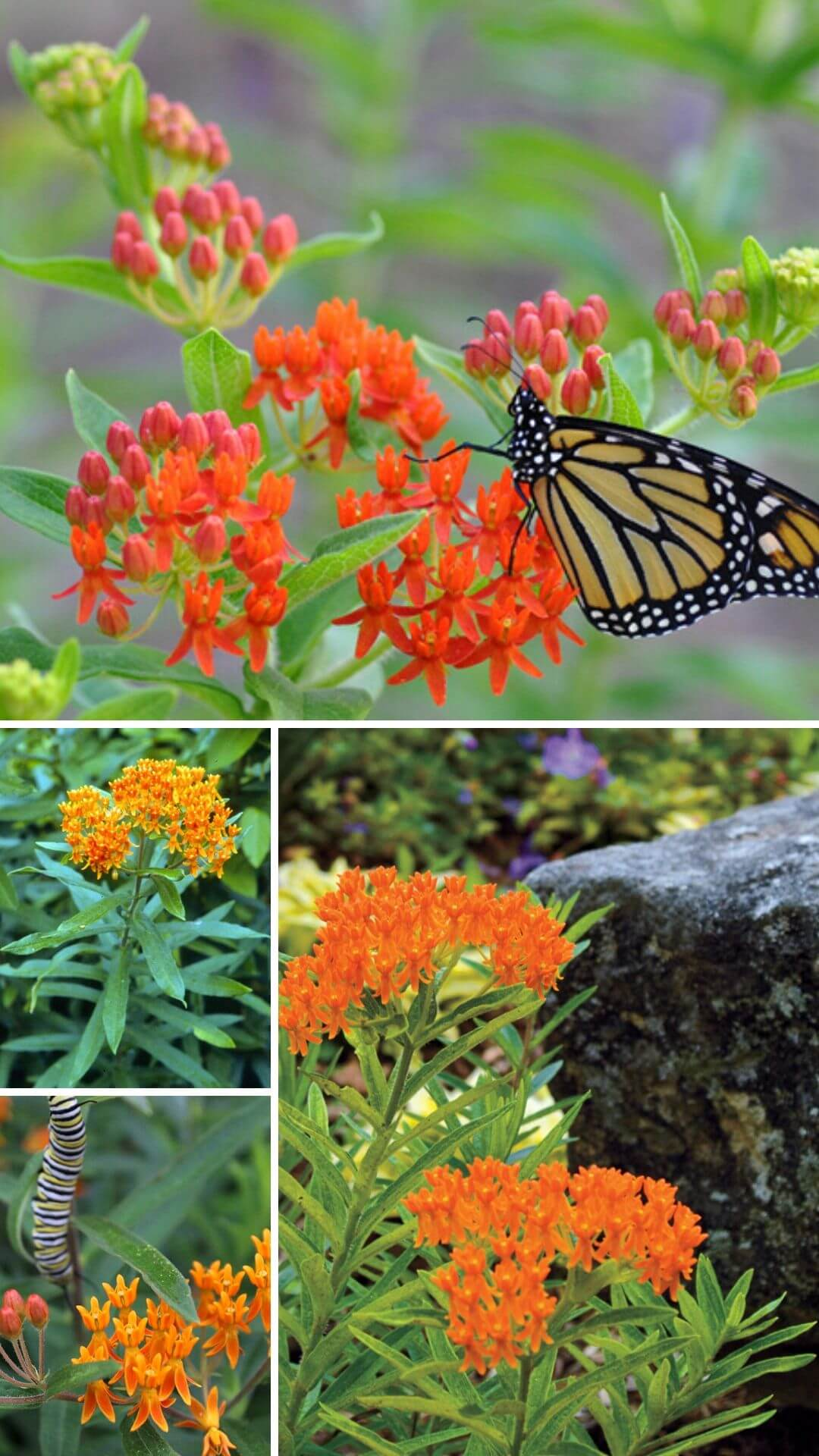Butterfly weed (Asclepias tuberosa) - Heat and Drought Tolerant Plants for Landscaping