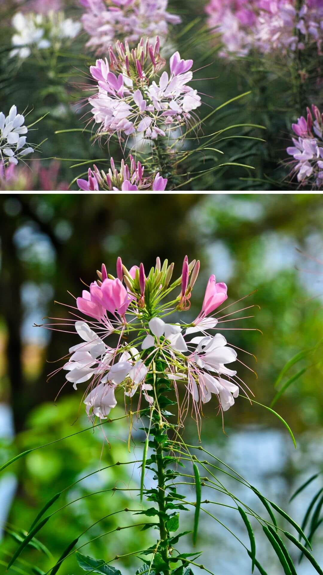 Cleome (spider flowers, spider plants, spider weeds, or bee plants) - Heat and Drought Tolerant Plants for Landscaping