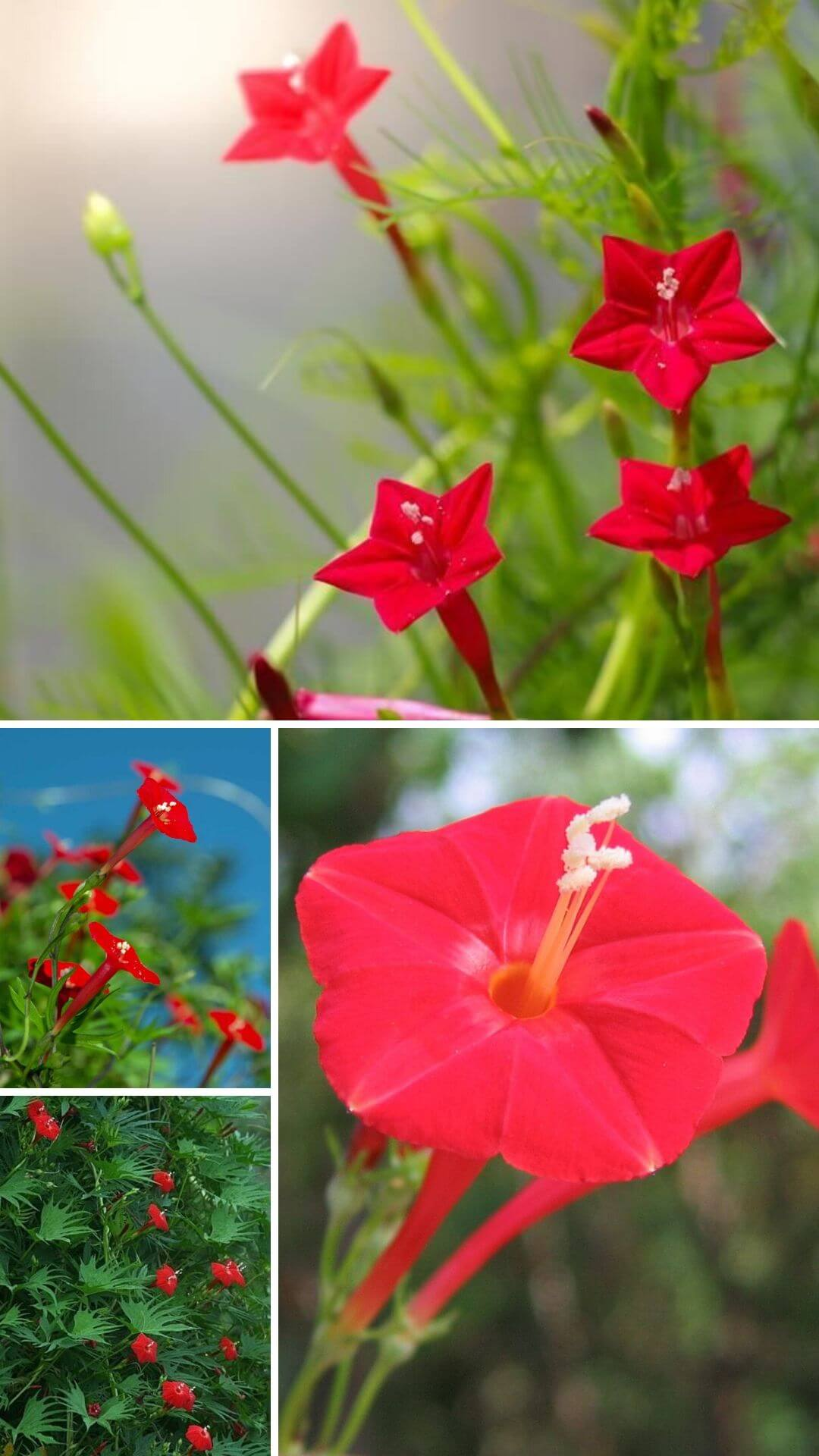 Cardinal Climbers (Cypress vine) - Heat and Drought Tolerant Plants for Landscaping