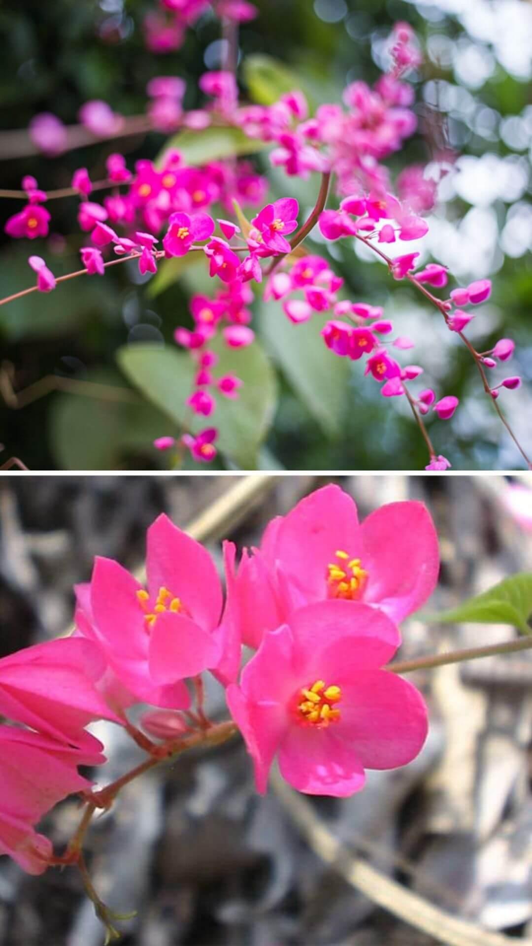 Mexican Creeper (Antigonon leptopus, Coralita, bee bush or San Miguelito vine) - Heat and Drought Tolerant Plants for Landscaping