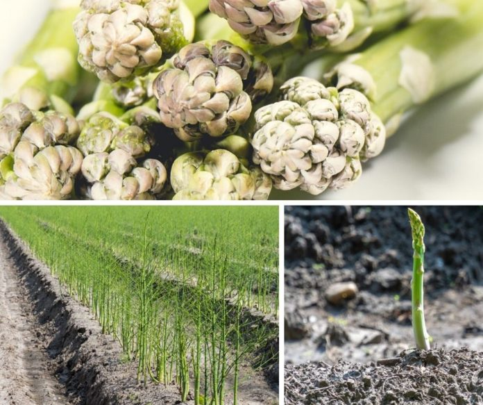 Best Place To Plant Asparagus: How To Grow And Plant Asparagus: All For The Pasta And